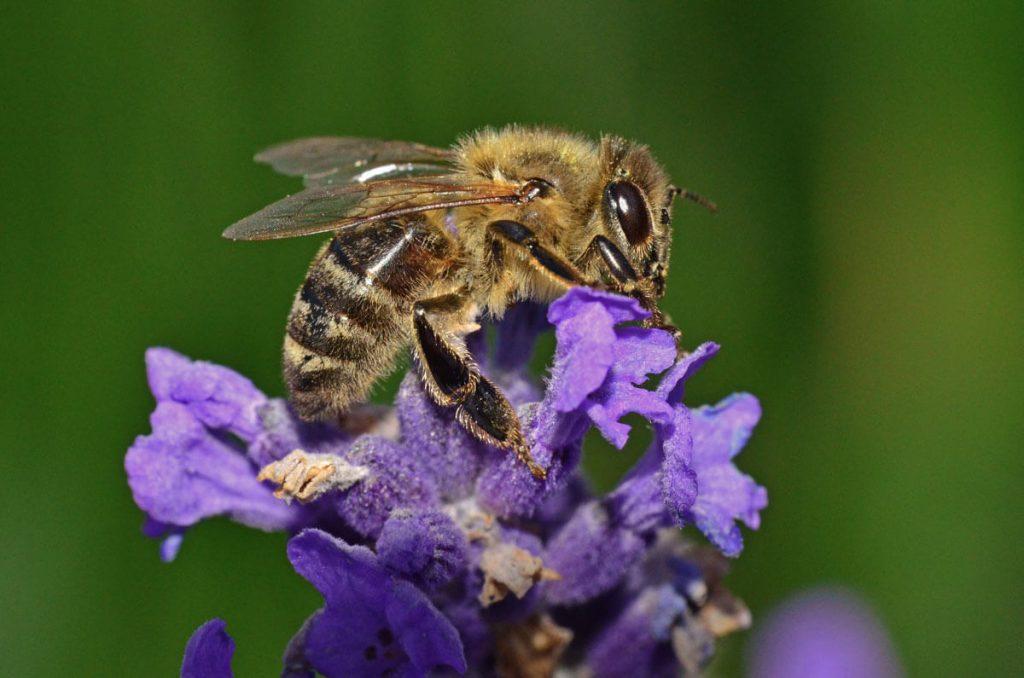 The Carniolan bee